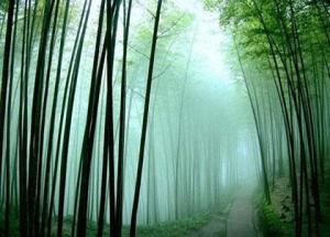bamboo forest peacefulness